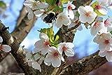 Snow Goose Flowering Cherry Tree - Prunus Serrulata - 1 Plant in 1 Gallon Pot