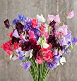 David's Garden Seeds Flower Sweet Pea Elegance Formula Mix D1920 (Multi Colored) 50 Open Pollinated Seeds