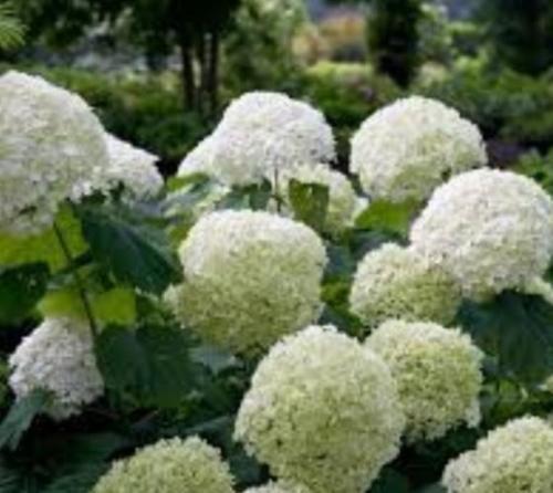 Incrediball Smooth Hydrangea Arborescens - Live Plant - 3 Gallon Pot