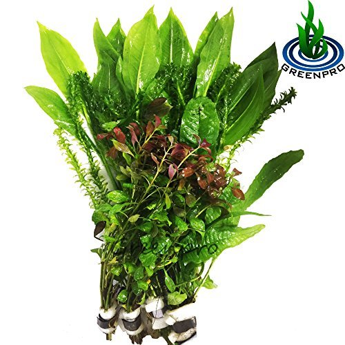 Greenpro Freshwater Live Aquarium Plants Package Value Pack 4 Species Amazon Sword Anacharis Java Fern Ludwigia by Greenpro