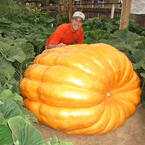 Flower Plant - 10pcs Giant Pumpkin Bonsai Halloween Organic Vegetables Nutrient-Rich Food Non-GMO Edible Plants for Home Garden (It is Seed not Plant) - by Abuldahi