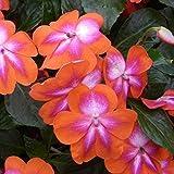 30+ Cosmic Orange Impatien Seeds - My Secret Gardens