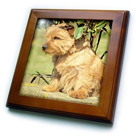 3dRose ft_493_1 Norfolk Terrier Framed Tile, 8 by 8-Inch