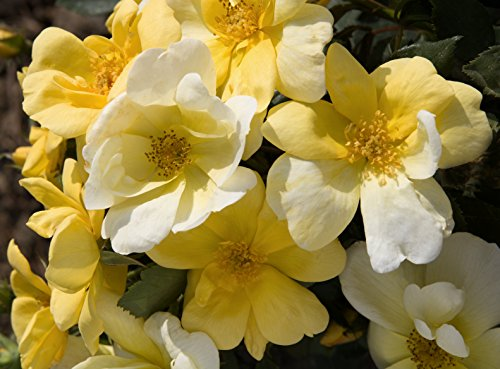 Knock Out Roses Sunny Knock Out Rose - Rose K.O. Sunny Knockout - 3 Gallon by Premier Plant Solutions (Image #3)