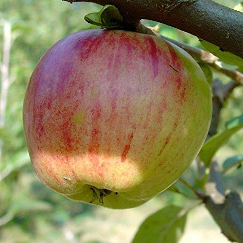 Gravensteiner, saftig süßer Herbstapfel, Buschbaum 80-120 cm, Veredelungsunterlage MM 111