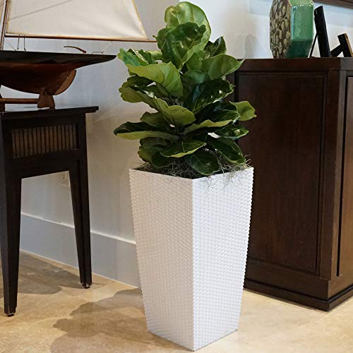 United Nursery Ficus Lyrata Tree Live One Stem Indoor Plant Fiddle-Leaf Fig 32'' Shipping Size Fresh in Grower 9.25'' Pot from Our Florida Farm by United Nursery (Image #3)