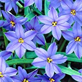 Starflower Rolf Fielder - 10 Robust Ipheion Uniflorum Bulbs - 6+ cm Rare Blue Flowers
