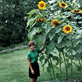 Mammoth Giant Sunflower Seeds - Great For Edible Seeds - 8-12' Tall! (.25 lb)