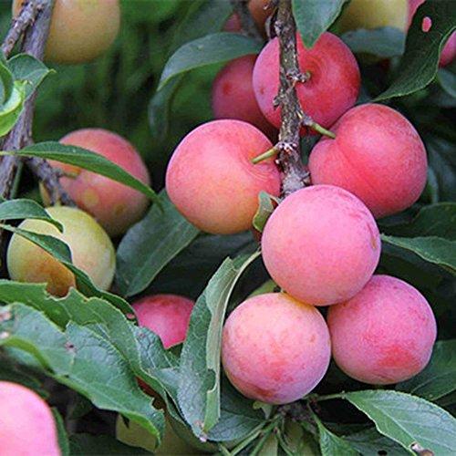 Little rock Plum Seeds Delicious Juicy Fruit Home Garden Planting Tree Easy Grow ()