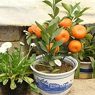 wpOP59NE 100Pcs Orange Tree Seeds Delicious Fruit Bonsai Dwarf Plant Garden Home Decor - Orange Seeds# Plant Seeds : Garden & Outdoor