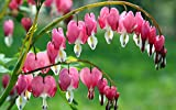 """(PBH)~""""BLEEDING HEART""""~Seeds~~~~~~~An Old Fashioned Favorite!!!"""
