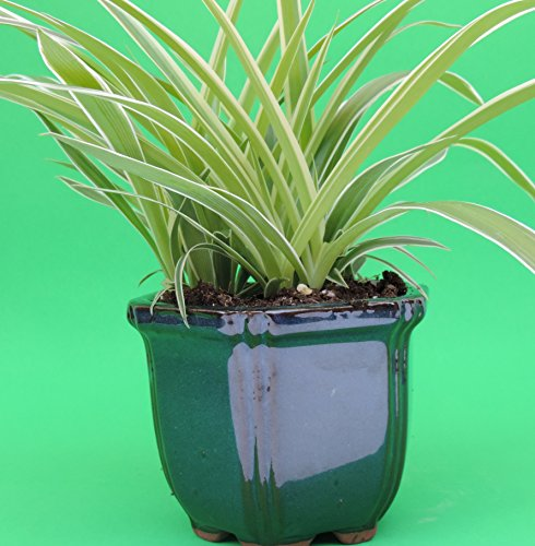With Pot 9x5/'/' Inches 5/'/' Tall Ocean Spider Plant FREE SHIPPING