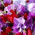 Non GMO Sweet Pea, Royal Family Mix Flower Seeds Lathyrus odoratus