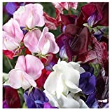 David's Garden Seeds Flower Sweet Pea Old Spice SL9155 (Multi) 50 Non-GMO, Heirloom Seeds
