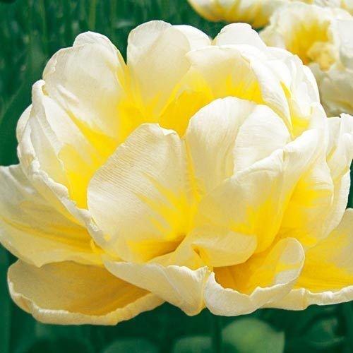 Tulip Double Peony Flaming Evita (10 Bulbs) (Bulb Peony Tulip)