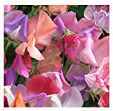 Annual Bermuda Mix Sweet Pea Seeds UPC 600188192162 + 1 Free Plant Marker (35)