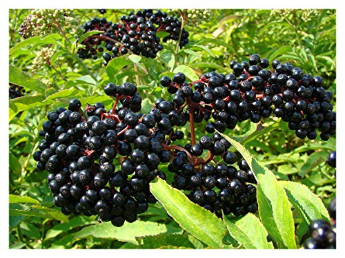 (Ranch Elderberry - Tree - Shrub - Fruit - Established Roots - 1 Plant in 2 Gallon Pot by Growers Solution)
