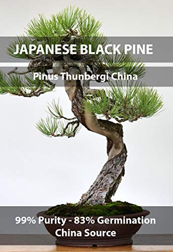 Japanese Black Pine Bonsai Seeds, Pinus Thunbergii, Crop Year 2016, Purity 99% Germination 83%, Collection Locale Chine, 15+ Pure Seeds per Packet!
