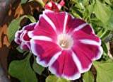 Morning Glory Rosita Ipomoea Nil 5 seeds* Easy Grow * Gorgeous