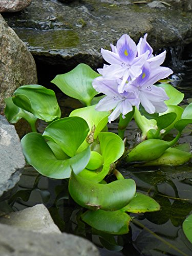 Water Hyacinth on a small plant pond.