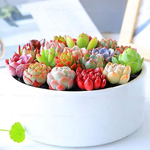 Go Garden 100 pcs Rare Mini Cactus Bonsai Mix Succulent Ornamental Plants suculentas for Home Garden Indoor Lithops: Sky Blue