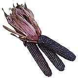 Burpee Suntava Full Season Purple Sweet Corn Seeds 300 seeds
