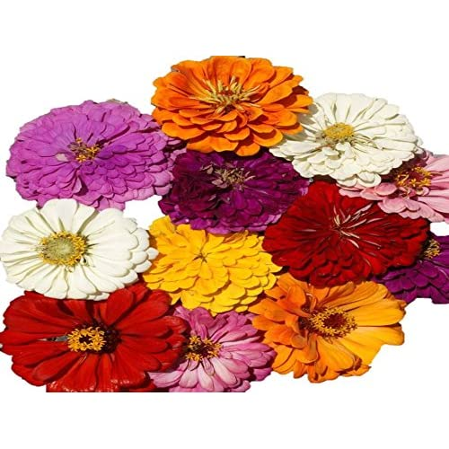 Image of California Giant Zinnia Mix Seeds Beautiful Cut Bouquets bin27 (96K Seeds, or 2 LB)