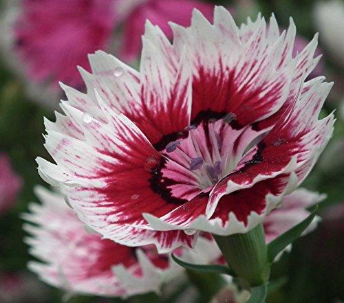 Dianthus Barbatus Sweet (Dianthus barbatus | Sweet William | 20_Seeds)