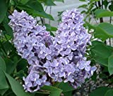 President Grevy Blue French Lilac ( syringa ) - Live Plant - Starter Plug (LG)