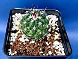 "THELOCACTUS CONOTHELOS SB302 in A 4"" Pot, Seed Grown Cactus Plant"