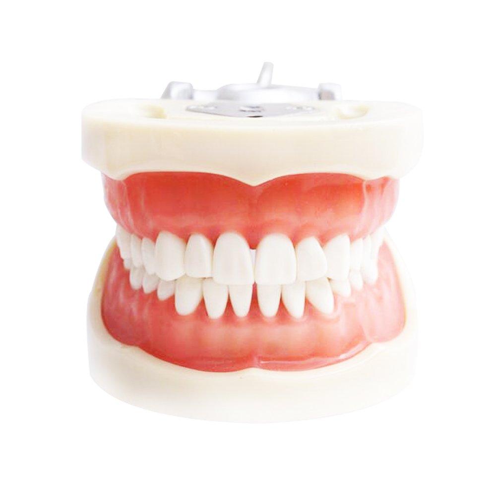 Soft Gum 32pcs Teeth 200H Type Standard Jaw Model - Medical Science Educational Dental Teaching Models