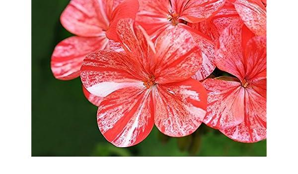 "pink-orange with red dots; 6 seeds Pelargonium /""Raspberry Ripple/"""