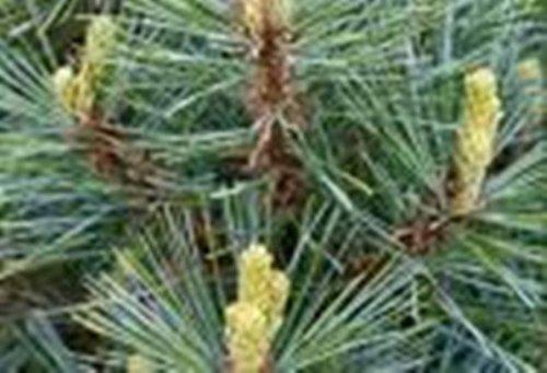 8 Planting White Pine Sapling Trees 12inch Evergreen seedling transplants #HSE by NurserySeedlings.Co (Image #2)