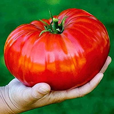 YENJO Seeds-Home Gardening Vegetable Plant Fresh Big Tomato Seeds : Garden & Outdoor