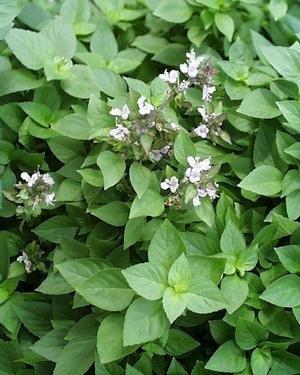 (Basil, Greek Columnar Live Plants USDA Certified Organic 2 ½ in. Pots)