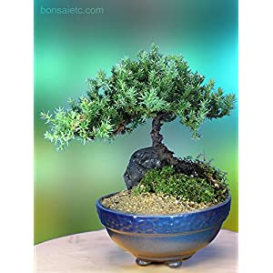 5+ Year Old Juniper Bonsai Tree in Setku Bowl – Traditional Metallic Finish