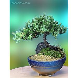 5+ Year Old Juniper Bonsai Tree in Setku Bowl – Traditional Metallic Finish