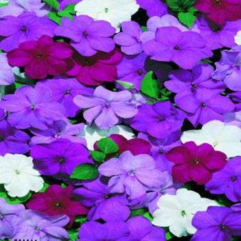Outsidepride Impatiens Blues Mix Seed