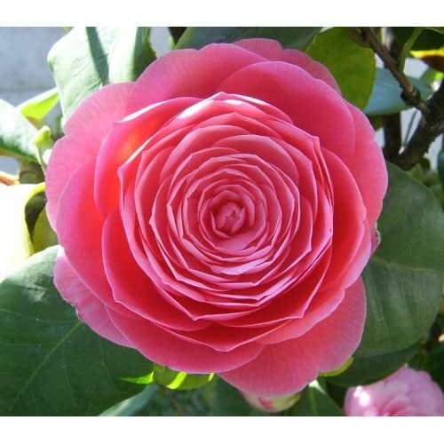 Camellia japonica rosa - Japanese camellia - 10 seeds