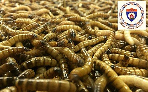 Farm Fresh Feeders 1000 Large Superworms - ORGANICALLY RAISED -