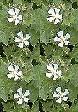 Kitaibelia vitifolia Perennial Flowers Seeds 1,000 Pcs an