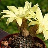 Frailea mammifera, cacti rare cactus aloe seed 15 SEEDS