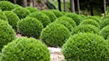 Winter Gem Boxwood - 60 Live Plants - 2'' Pot Size - Buxus Microphylla Japonica - Fast Growing Cold Hardy Formal Evergreen Shrub