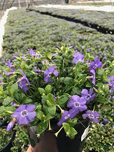 - Vinca minor 'Bowles' (Periwinkle) Perennial, blue-violet flowers, 1 - Size Container