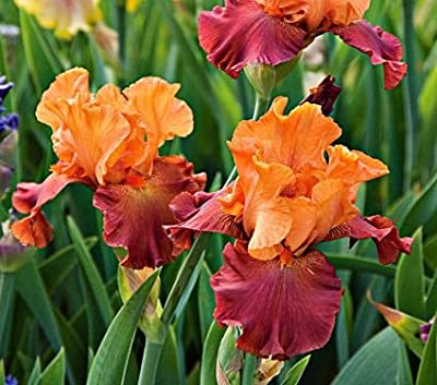 (3) Supreme Bearded Iris Mix, Roots, Bulbs, Plants, Incredible Reblooming Irises Nice addition to any Garden