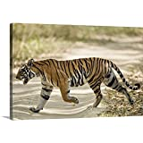Canvas On Demand Premium Thick-Wrap Canvas Wall Art Print Entitled Bengal Tiger Panthera Tigris Tigris Walking in a Forest Bandhavgarh National Park Umaria District Madhya Pradesh India