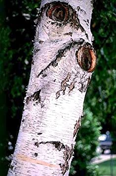 Amazon Com European White Birch 15 Seeds Betula Tree Bonsai Tree Plants Garden Outdoor