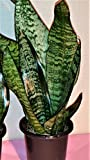 Hirt's Superba Robusta Snake Plant - Sanseveria