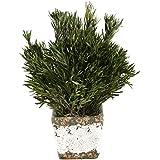 D & W Silks Preserved Buxifolia in Stoneware Planter