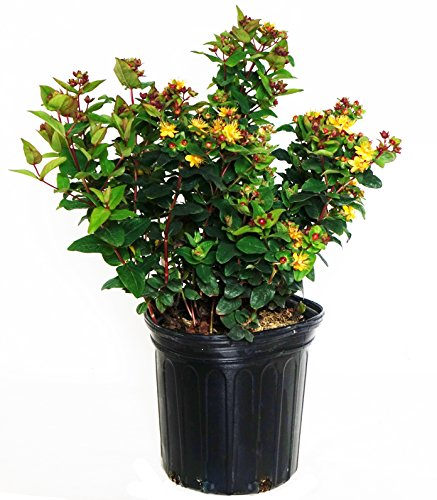 Hypericum and. 'Magical  Universe'   (St. Johns Wort) Shrub, mahogany fruit, #2 - Size Container